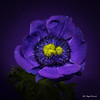 Blue anemone (Magda Banach) Tags: canon canon80d sigma150mmf28apomacrodghsm anemone blue colors flora flower macro nature plants