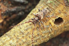 Pogonocherus hispidus (Radim Gabriš) Tags: coleopera cerambycidae lamiinae pogonocherus pogonocherushispidus