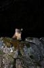 Pine marten (Mike Mckenzie8) Tags: martes scotland scottish highland wild wildlife mammal pir camtraptions nocturnal flash canon