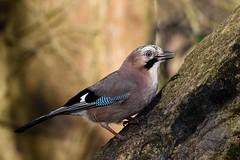 Jay Leighton Moss F00166 D210bob  DSC_9217 (D210bob) Tags: jay leightonmoss f00166 d210bob dsc9217 nikond7200 birdphotography birdphotos naturephotography naturephotos nikon nikon200500f56 wildlifephotography lancashire rspb