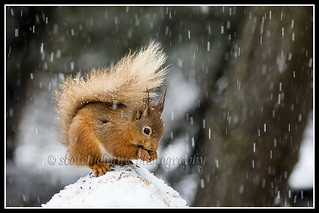 IMG_0026 Red Squirrel