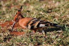 African Hoopoe (2) (Richard Collier - Wildlife and Travel Photography) Tags: wildlife naturalhistory nature birds southernafrica southafrica africanhoopoe ngc coth5