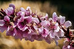 blossoms (yaz62) Tags: flowersplants april2018 buds