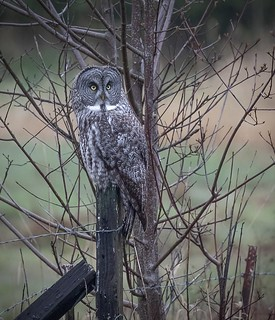(Strix nebulosa) Great Gray Owl