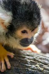 Squirrel monkey (Photography by Martijn Aalbers) Tags: squirrelmonkey doodshoofdaapje monkey aap apenheul apeldoorn animal dier beast beest outdoor buiten spring lente sunny zonnig weekend cautious voorzichtig closeup thenetherlands nederland dutch nederlands holland canoneos77d ef70200mmf4lisusm wwwgevoeligeplatennl