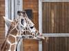 Giraf (Raini4) Tags: giraffe copenhagenzoo copenhagen zoo zoologiske københavnszoologiskehave animal stable wood canoneos77d canon 77d freephoto publicdomain april 2018 young head horns bigeyes