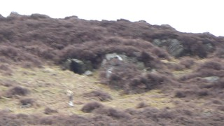 Very short video clip of female Hen Harrier~rather curtailed when the Peregrine intervened !!  However here for the record.