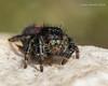 Bold Jumping Spider 6 (strjustin) Tags: boldjumpingspider jumpingspider arachnid insect spider bug macro