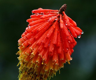 Red-hot poker with Raindrops - Western Himalayas ~2300m Altitude