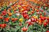 It's tulip time (Peter Jaspers (back in july)) Tags: frompeterj© 2018 olympus omd em10 zuiko 1240mm28 spring lente tulips tulpen lisse noordwijk hillegom duinenbollenstreek fietstocht bikingride colors red dof bokeh 52in2018 3spring