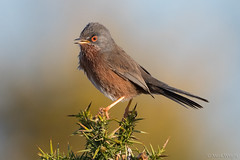 Dartford Warbler 4 (markwright12002) Tags: 2018 april arne dartfordwarbler dorset rspb