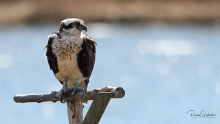 Osprey of the Jersey Shore | 2018 - 17