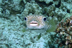 funny face (BarryFackler) Tags: porcupinefish face diodonhystrix kokala oopukawa dhystrix giantporcupinefish fish marine marinelife sealife konadiving coralreef diver island ocean bay sea reef life coral marineecology marinebiology nature marineecosystem aquatic barryfackler barronfackler bigisland biology being bigislanddiving vertebrate creature zoology water westhawaii ecology ecosystem tropical undersea underwater organism outdoor polynesia pacific pacificocean kona konacoast hawaii hawaiiisland hawaiicounty honaunau hawaiianislands hawaiidiving honaunaubay fauna diving dive southkona scuba seacreature sealifecamera sandwichislands saltwater 2018 seawater tropicalfish reeffish