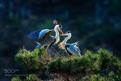 Love(苍鹭Ardea cinerea) (KevinBJensen) Tags: 鸟类 苍鹭 野生动物 自然 树