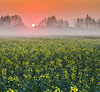 Beauty in the backyard (Robyn Hooz) Tags: colza alba sunrise ripeseed alberi trees sun sunshine fog mist flowers fiori padova padovainfoto sky orange