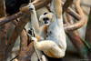White-cheeked Gibbon (dpsager) Tags: brookfield brookfieldzoo chicago dpsagerphotography gibbon monkey whitecheekedgibbon zoo