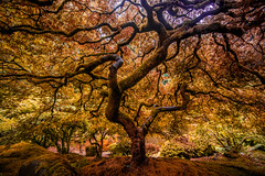 I've Been Waiting to Awaken From These Dreams (Thomas Hawk) Tags: america japanesemaple oregon pdx portland portlandjapanesegarden usa unitedstates unitedstatesofamerica washingtonpark westcoast maple tree us fav10 fav25 fav50 fav100