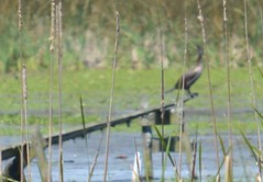 a lmn  cormorant DSC_0120 (eustatic) Tags: basa wildlife grn lmn
