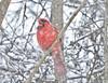 Eating Snow (Cam Miller 2017) Tags: cardinal malecardinal northernredcardinal snow westernpa