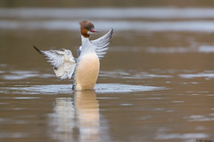 Goosander (Images from the Wild) Tags: