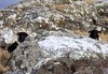 Connemara:  black-faced sheep, lichen and quartz (ronmcbride66) Tags: sheep ewes lichen connemara roughgrazing hills mountainside landscape ireland rocks nature uplands blackfaced quartz grass hideandseek geology scenic limestone
