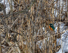 _D5S2594 (Micke Jonasson) Tags: kingfisher