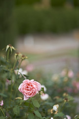 Pink Rose (Stueyman) Tags: sony alpha ilce a7 a7ii 85mm rose flower wa westernaustralia au australia nature