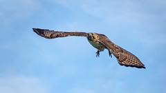 Hawk in Flight #108 (lennycarl08) Tags: hawk raptor birdofprey northerncalifornia eastbay herculesca redtailedhawk birds bird