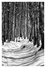 Shadows on Snow (fearghal breathnach) Tags: blackwhite snow snowscape woods cloghleagh forestpath shadows trees winter