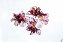 screensaver (Bela Bodo) Tags: petal flower background computer screen special windows apple