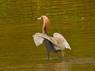 Reddish Egret doing their thing!!