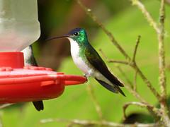 Amazilia franciae (Luis G. Restrepo) Tags: trochilidae p2900768 amaziliaandina andeanemerald amaziliafranciae ave bird birdwatching pueblorico risaralda colombia montezuma tatamá southamerica colibrí hummingbird