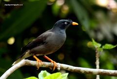 IMG_1632 Jungle Myna (Acridotheres fuscus) (vlupadya) Tags: greatnature animal aves fauna indianbirds jungle myna acridotheres kundapura karnataka