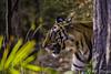 On the hunt (AKphotographyStaffordshire) Tags: endangered amanda weller karl staffordshire d500 nikon safari akphoto akphotography india pradesh madhya madhyapradesh bandhavgarh tigress tiger
