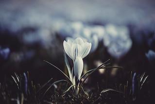 Die blaue Blume