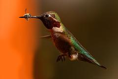 "Hummingbird-Bee-05 (DonBantumPhotography.com) Tags: wildlife nature birds animals rubythroatedhummingbird honeybee skewered ""donbantumphotographycom"" ""donbantumcom"" ""nikon d7200"" ""afs nikkor 200500mm f56e ed vr"""