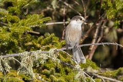 Mésangeai du Canada / Gray Jay (Pierre Lemieux) Tags: québec canada ca mésangeaiducanada grayjay forêtmontmorency