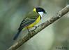 Golden Whistler (Pachycephala pectoralis) (Greg Miles) Tags: goldenwhistler pachycephalapectoralis scottshead newsouthwales australia