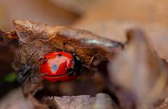 Ladybug and spider ... (Julie Greg) Tags: ladybug spider nature canon5dmarkiv colours park macro details