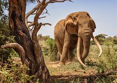 Bull Elephant (Photobirder) Tags: bullelephant amboselinp kenya