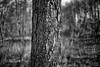 Stemm (Svendborgphoto) Tags: woods nature denmark detail monochrome bw bokeh blackandwhite blur leica leitz summicron 50mm f2 sonyalpha sony sonya7ii