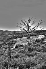 Tree (evelinegijsbers) Tags: tree nature veluwe netherlands veluwezoom field hdr black white photography sky