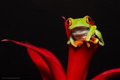 Red-eyed Tree Frog (Jen St. Louis) Tags: agalychniscallidryas redeyedtreefrog amphibian captive frog treefrog nikond750 nikon105mmf28 jenstlouisphotography wwwjenstlouisphotographycom