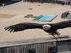 P4220260 (Soken9) Tags: animal aigle oiseau