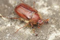 Miltotrogus vernus (Radim Gabriš) Tags: coleoptera scarabaeidae melolonthinae holochelus miltotrogus vernus beetle macro insect