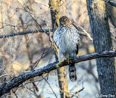 COOPER'S HAWK (imeshome) Tags: hawk coopers nature hunting wildwood young lake spring