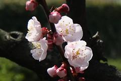 img_6248hd (Akira Murayama) Tags: plum plumblossoms