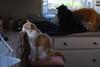 Otis found the spotlight (1 of 2) (rootcrop54) Tags: otis dilute orange tabby male cat multiple cats batman tuxedo jimmy orangetabby neko macska kedi 猫 kočka kissa γάτα köttur kucing gatto 고양이 kaķis katė katt katze katzen kot кошка mačka gatos maček kitteh chat ネコ