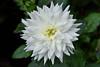 Dahlia (chooyutshing) Tags: flower dahlia floraldisplay flowerdome gardensbythebay baysouth marinabay singapore