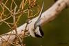 IMG_0332 chickadee (starc283) Tags: starc283 wildlife canon canon7d chickadee bird birding birds blackcappedchickadee flickr flicker outdoors outdoor nature naturesfinest naturewatcher nebraska